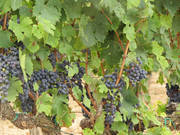 В Испании 40 Га. виноградников и винзавод с широкой клиентской сетью.