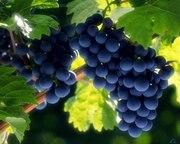 Продам виноград Зайбер,  1001 .