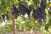 Продам виноград - Каберне.